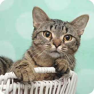 Domestic Shorthair Cat for adoption in Chippewa Falls, Wisconsin - Zelinda