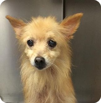 Pomeranian/Terrier (Unknown Type, Small) Mix Dog for adoption in Summerville, South Carolina - Gus