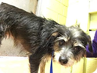 Terrier (Unknown Type, Small) Dog for adoption in Fort Worth, Texas - Cookie
