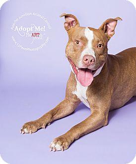 Pit Bull Terrier Mix Dog for adoption in Apache Junction, Arizona - Dozer