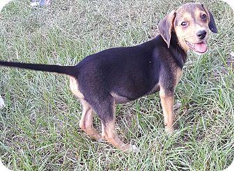 Beagle/Beagle Mix Puppy for adoption in West Springfield, Massachusetts - Sammi