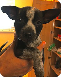 Cattle Dog Mix Puppy for adoption in Fort Collins, Colorado - Danica Patrick (DENVER)