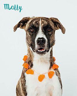 Shepherd (Unknown Type)/Boxer Mix Dog for adoption in Houston, Texas - Molly