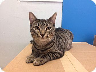 Domestic Shorthair Cat for adoption in Chicago, Illinois - Mr. Roper
