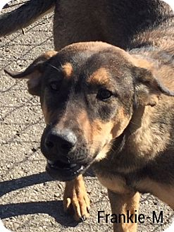 Rottweiler/Shepherd (Unknown Type) Mix Dog for adoption in Hagerstown, Maryland - Frankie