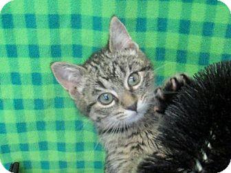 Domestic Shorthair Kitten for adoption in Lloydminster, Alberta - Chip
