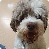 Cockapoo Mix Dog for adoption in Livonia, Michigan - Buddy