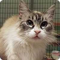 Siamese Cat for adoption in Grants Pass, Oregon - Kitzy