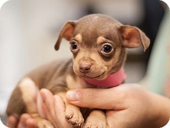 Miniature Pinscher Mix Puppy for adoption in Dallas, Texas - Daisy