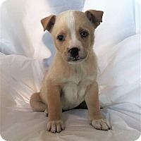 Adopt A Pet :: Abbey - Mooresville, NC