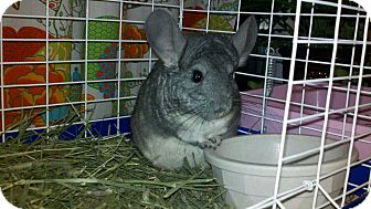 Chinchilla for adoption in Patchogue, New York - Babe