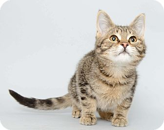 American Shorthair Cat for adoption in Wyandotte, Michigan - Etienne