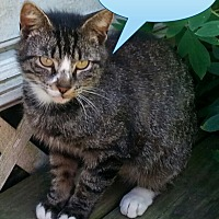 Domestic Shorthair Cat for adoption in Salisbury, North Carolina - Scotty
