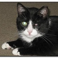 Domestic Shorthair Cat for adoption in Hamilton, New Jersey - TUXEDO