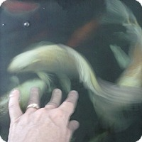 Fish for adoption in Deer Lodge, Tennessee - Butterfly Koi