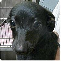 Adopt A Pet :: Murphy Brown - Springdale, AR