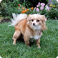 Adopt A Pet :: VINCENT - Newport Beach, CA
