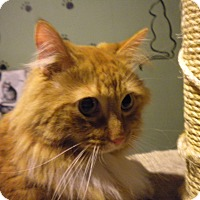 Adopt A Pet :: Foxtrot - Bridgeton, MO