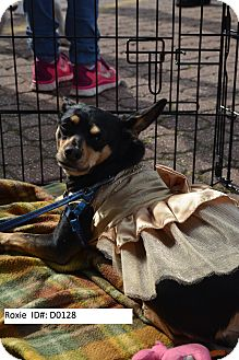Chihuahua Mix Dog for adoption in Fremont, California - Roxie