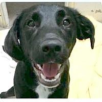 Adopt A Pet :: Shane - Springdale, AR