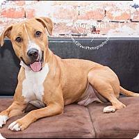 Adopt A Pet :: Gizmo - Apache Junction, AZ