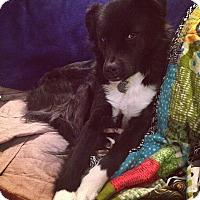 Adopt A Pet :: Cassie - Sudbury, MA