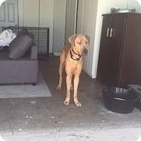 Adopt A Pet :: Munchie - Manhattan Beach, CA