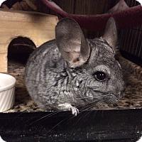 Adopt A Pet :: Lizzie - Hammond, IN