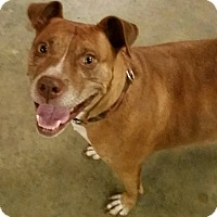 Boxer/Labrador Retriever Mix Dog for adoption in Gainesville, Georgia - lady