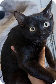 Domestic Shorthair Kitten for adoption in Prescott, Arizona - Sally