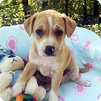 Boxer/Shar Pei Mix Puppy for adoption in Marion, North Carolina - Cowboy