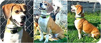 Beagle Mix Dog for adoption in Findlay, Ohio - TIMMIE