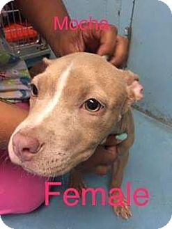 American Staffordshire Terrier Mix Puppy for adoption in Patterson, New York - Mocha
