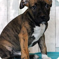 Boxer Mix Puppy for adoption in Waldorf, Maryland - Tommy