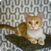 Domestic Shorthair Cat for adoption in Columbia, Tennessee - McEntire