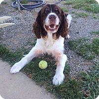 Cocker Spaniel Mix Dog for adoption in Mechanicsburg, Ohio - Copper