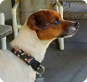 Jack Russell Terrier Dog for adoption in Terra Ceia, Florida - CRACKERJACK