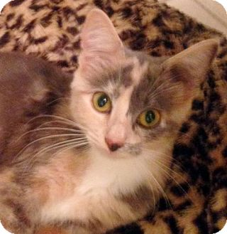 Calico Cat for adoption in Alvin, Texas - Annabelle
