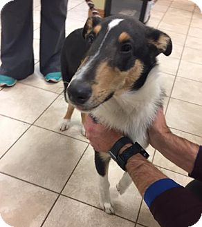 Collie Puppy for adoption in Chantilly, Virginia - Ted