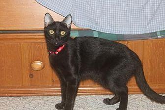 Domestic Shorthair Kitten for adoption in Santa Fe, Texas - Patience