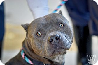 American Pit Bull Terrier Dog for adoption in Martinsville, Indiana - Stud Muffin