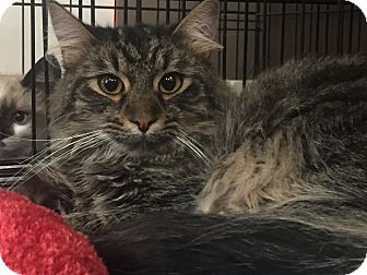 Maine Coon Kitten for adoption in Cerritos, California - DiCaprio