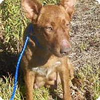 Australian Cattle Dog/Corgi Mix Dog for adoption in Allentown, New Jersey - Pamela