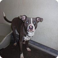 Adopt A Pet :: Billy Blue - Springfield, TN
