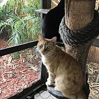 Adopt A Pet :: Juliet - Lauderhill, FL