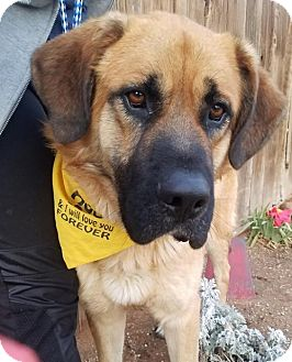 Mastiff/St. Bernard Mix Dog for adoption in Apple Valley, California - Chet-ADOPTED 1/29/17