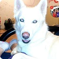 Adopt A Pet :: Maximiliion meet me 2/3 - Manchester, CT
