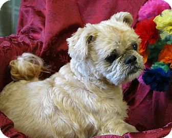 high point shih tzu kevin adopted dog high point nc shih tzu mix 713