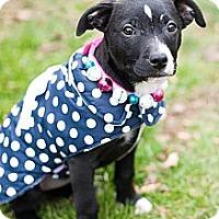 Adopt A Pet :: Kylie - Reisterstown, MD