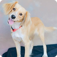 Adopt A Pet :: BARBIE, mini Golden Ret look! - Irvine, CA